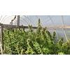 Ace Seeds Zamal Bliss Fem 5 pk