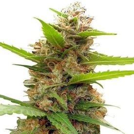Ace Seeds Zamaldelica x Nepal Jam Fem 5 pk
