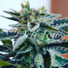 Delicious Seeds Sugar Black Rose Reg 7 pk