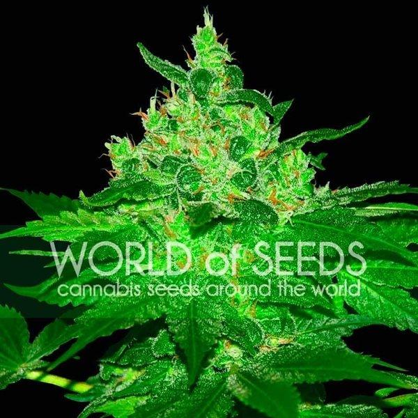 World of Seeds Afghan Kush Reg 10 pk