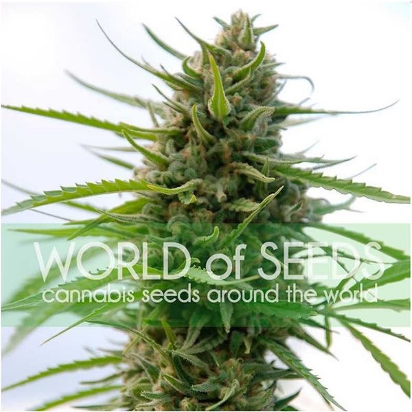 World of Seeds Kilimanjaro Reg 10 pk