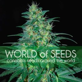World of Seeds South African Kwazulu Reg 10 pk