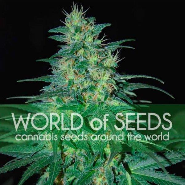 World of Seeds South African Kwazulu Reg 10 pk