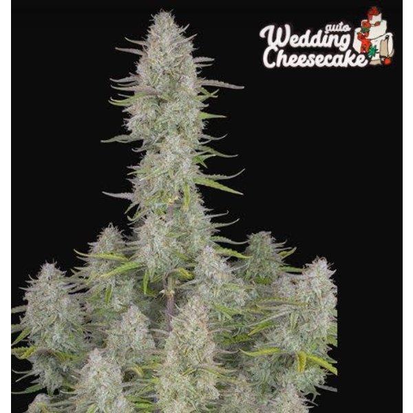 420 Fast Buds Wedding Cheesecake Auto Fem 5 pk