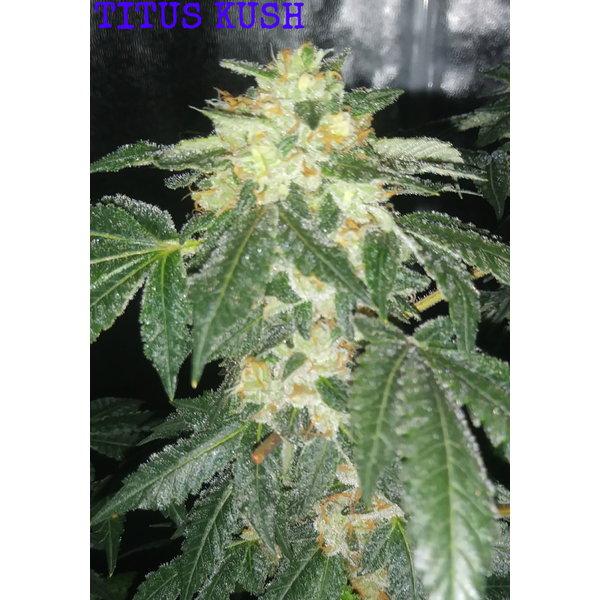 Seven Leaf Genetics Titus Kush Reg 12 pk