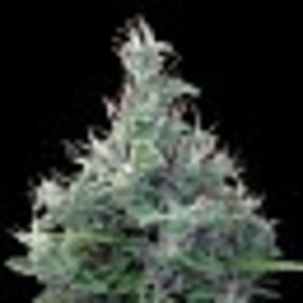 Ace Seeds Lebanese Reg 10 pk