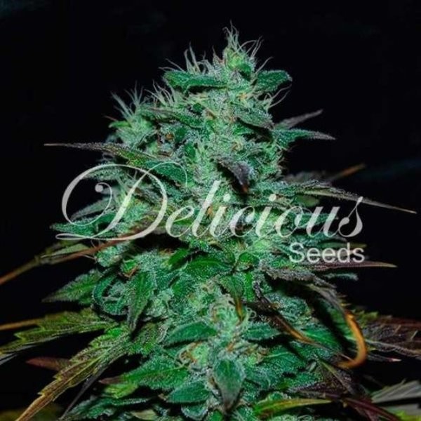 Delicious Seeds ChocoBang Fem 5 pk