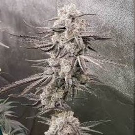 In House Genetics White Chocolate Fem 12 pk