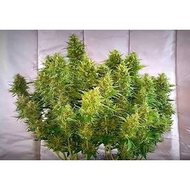 Michigan Marijuana Seed Club Lost Elephant Auto-Fem 12 pk