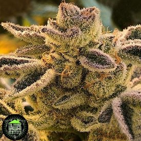 In House Genetics Terple Fem 10 pk