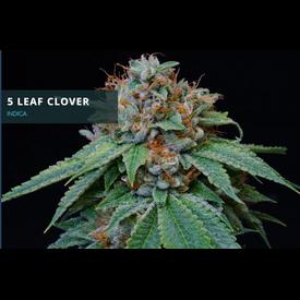 Midnight Roots 5 Leaf Clover Reg 10 pk