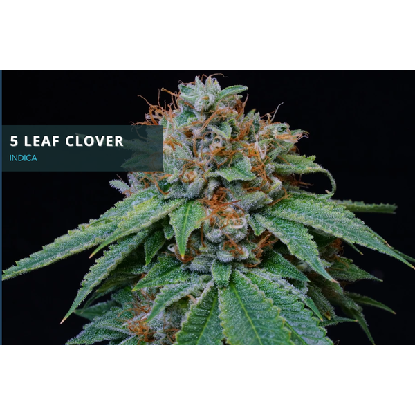 Midnight Roots 5 Leaf Clover Reg 10 pk