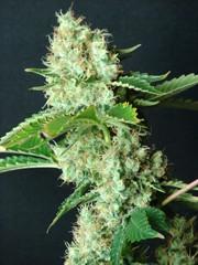 Feminized Hybrid Seeds