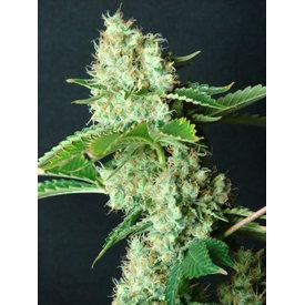 Resin Seeds Bubblicious Fem 5 pk