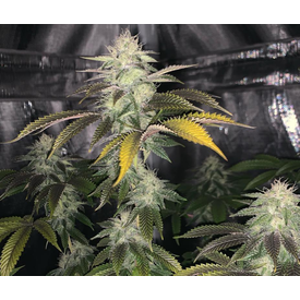 In House Genetics Forbidos Fem 10pk