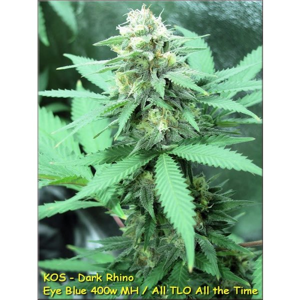 Kingdom Organic Seeds Dark Rhino Reg 10 pk