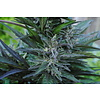 Coal Miner's Daughter Auto Reg 10 pk