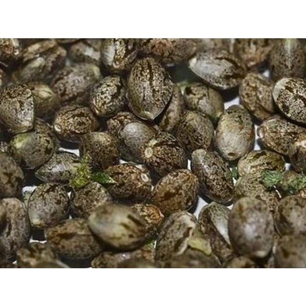 Michigan Marijuana Seed Club Trench Buddy Auto Fem 12 pk