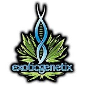 Exotic Genetix Rainbow Chip Holiday Player Box(Regular Seeds)