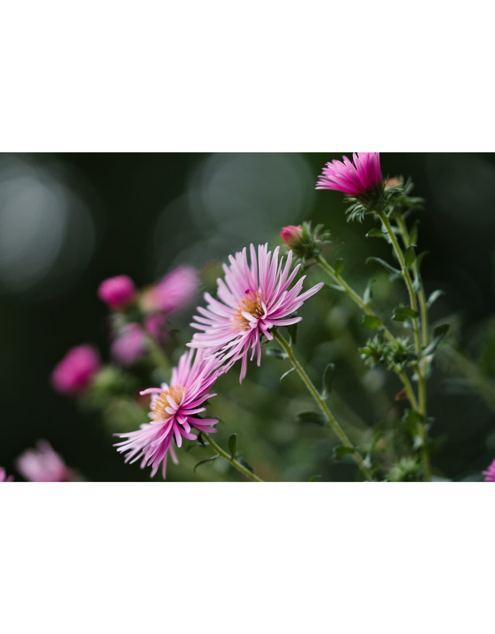 Modern Sprout China Asters Grow Kit