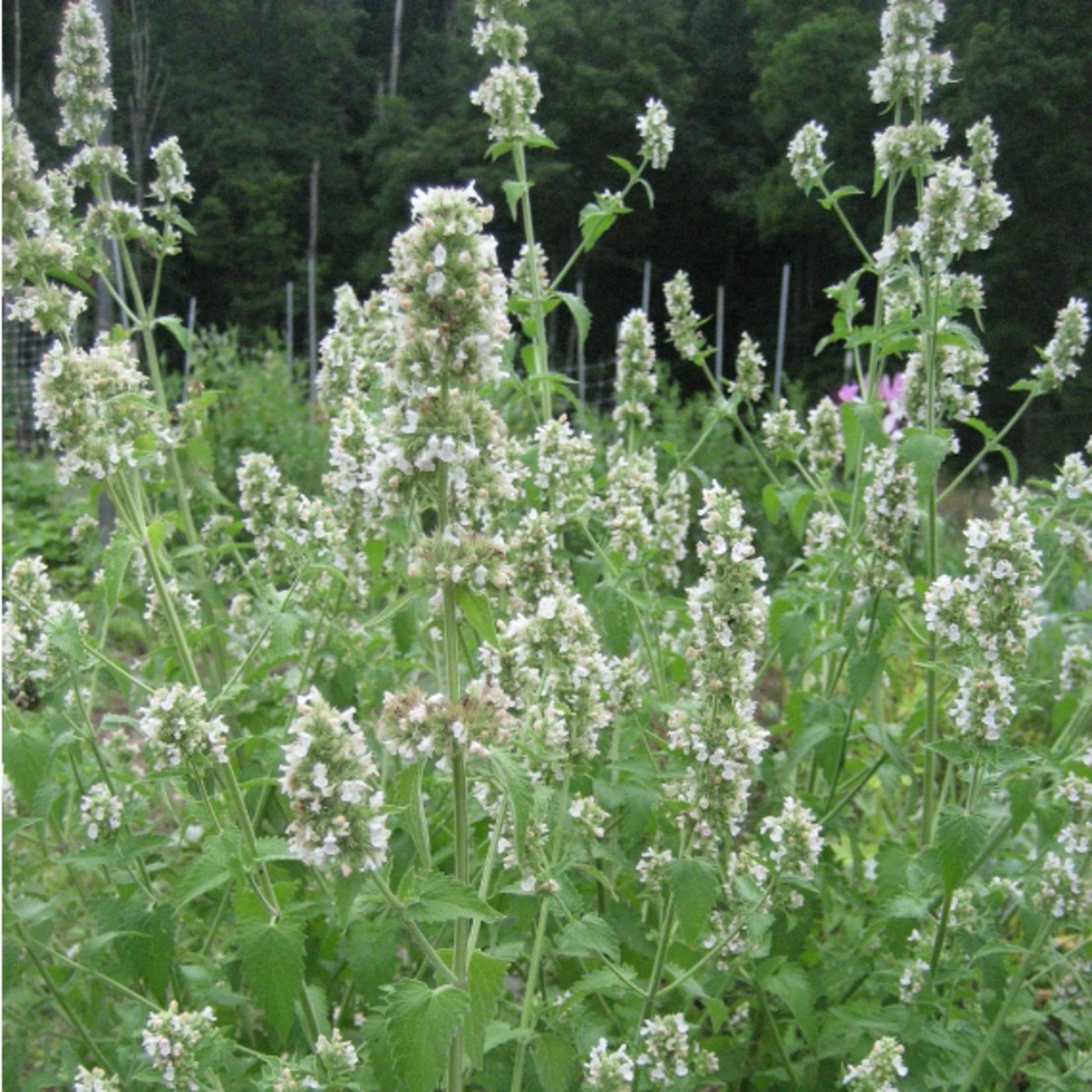 Hudson Valley Seeds Catnip Seeds