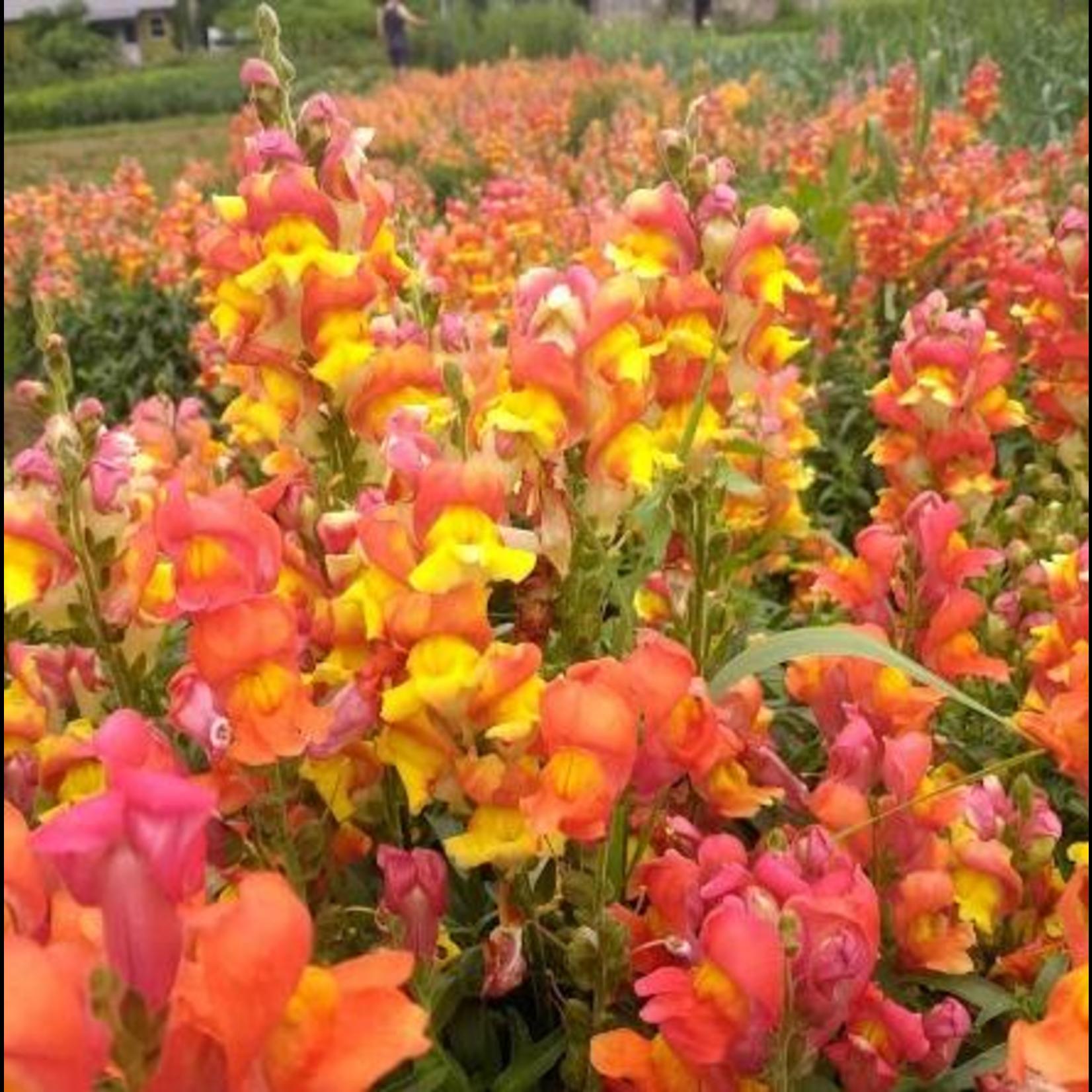 Hudson Valley Seeds Rembrandt Snapdragons Seeds