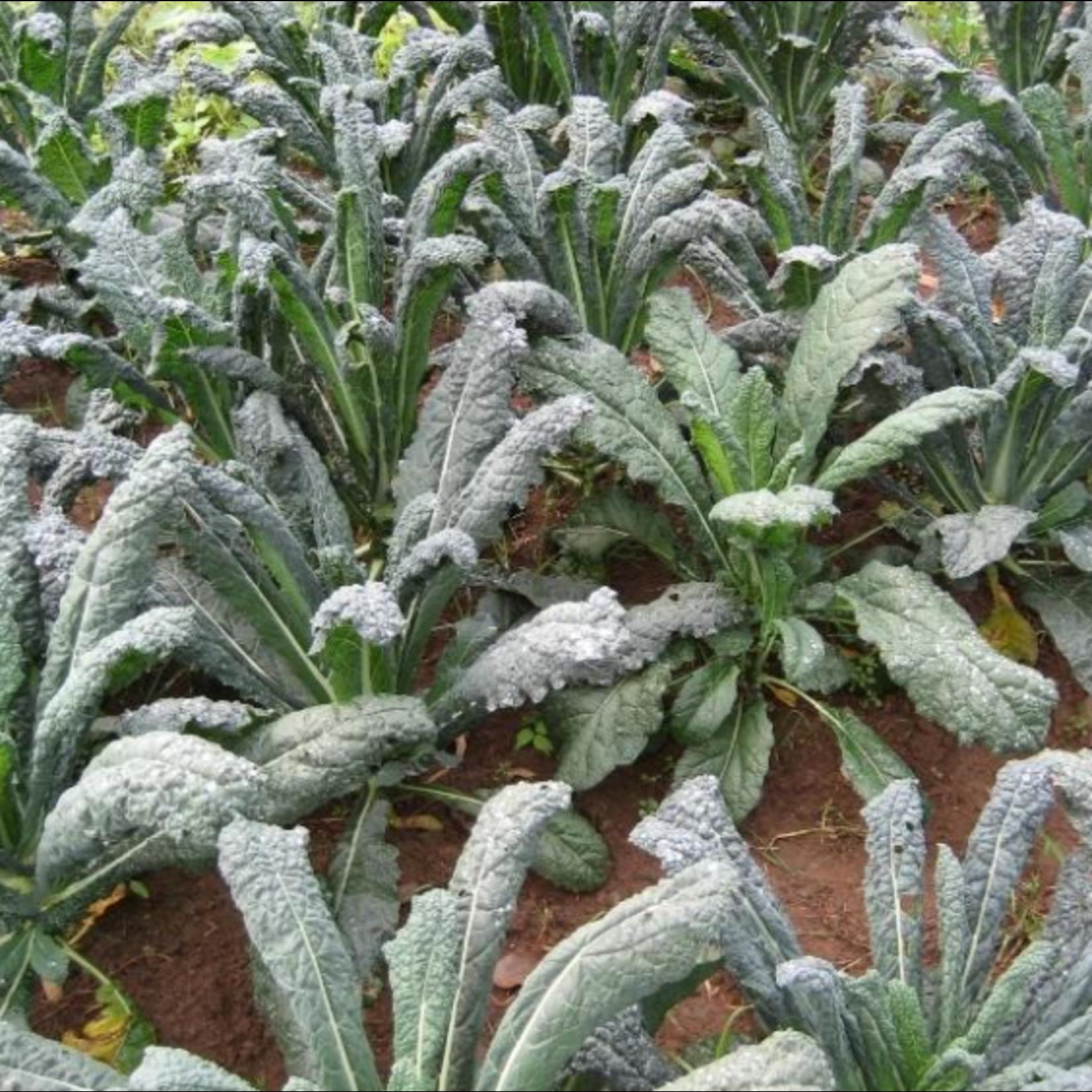 Hudson Valley Seeds Dino Kale Seeds