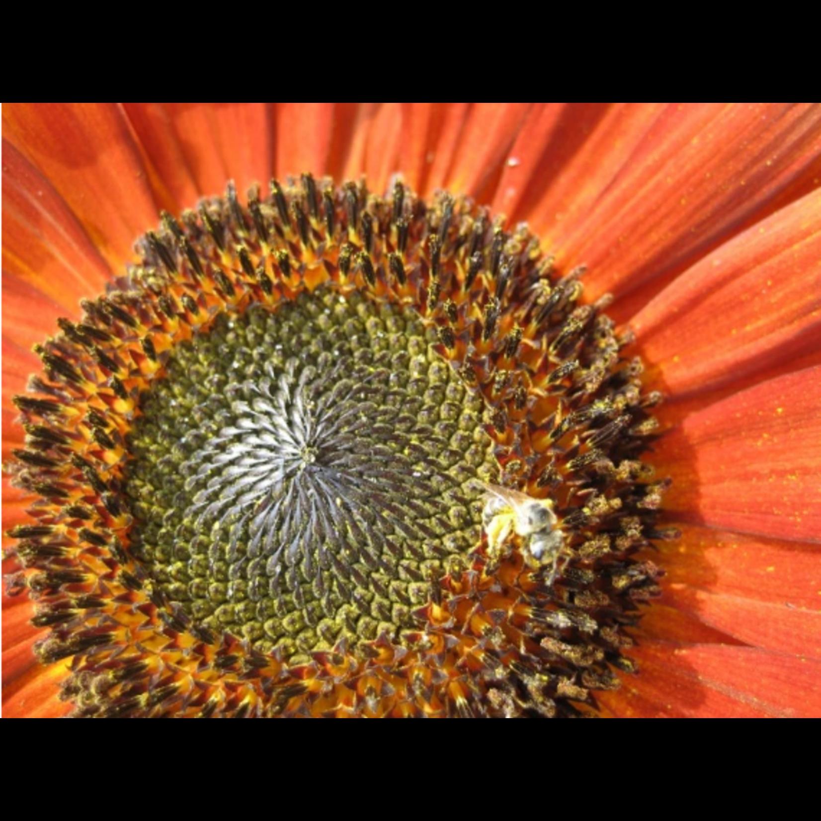 Hudson Valley Seeds Velvet Queen Sunflower Seeds