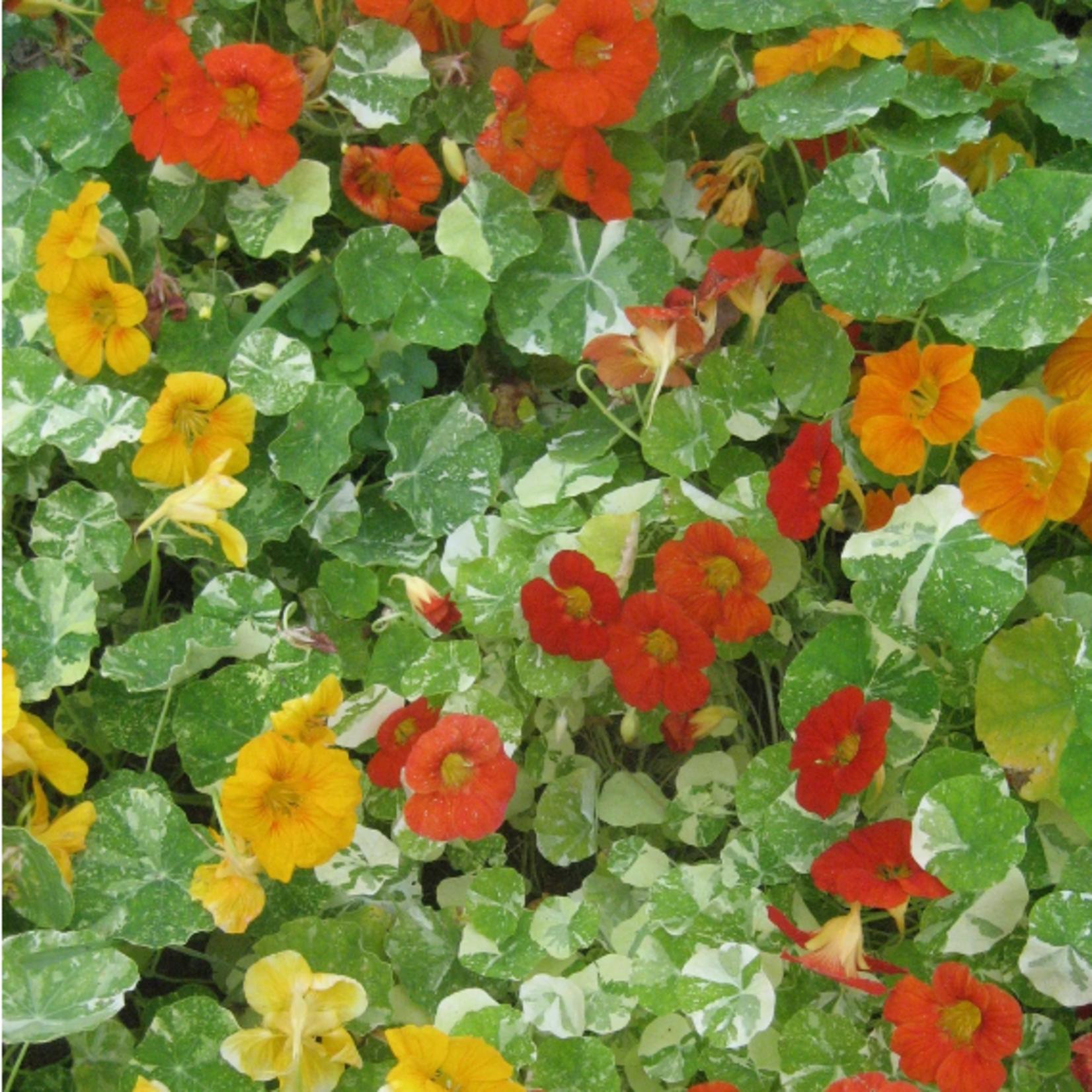 Hudson Valley Seeds Variegated Nasturtium Seeds