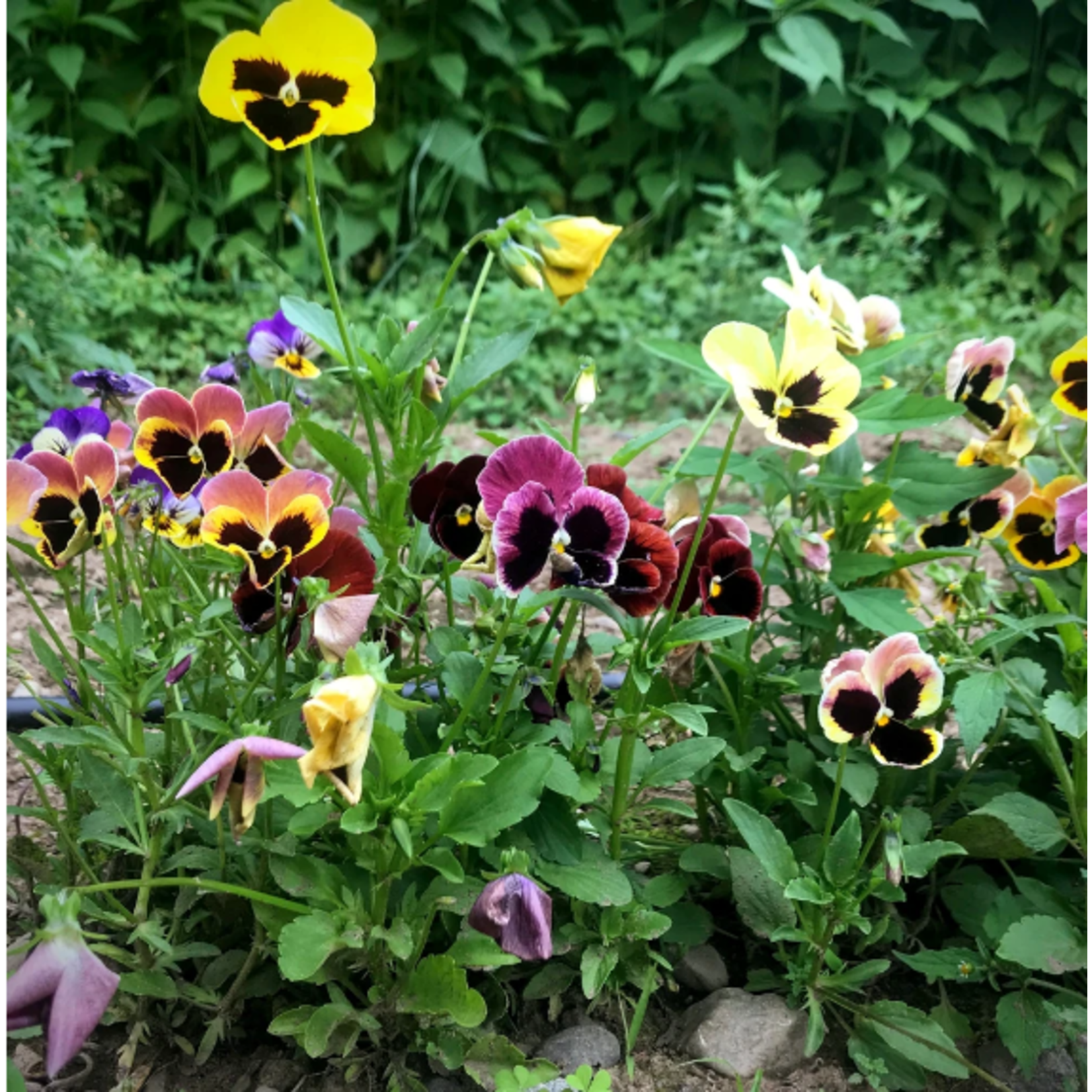 Hudson Valley Seeds Pansy Mix Seeds