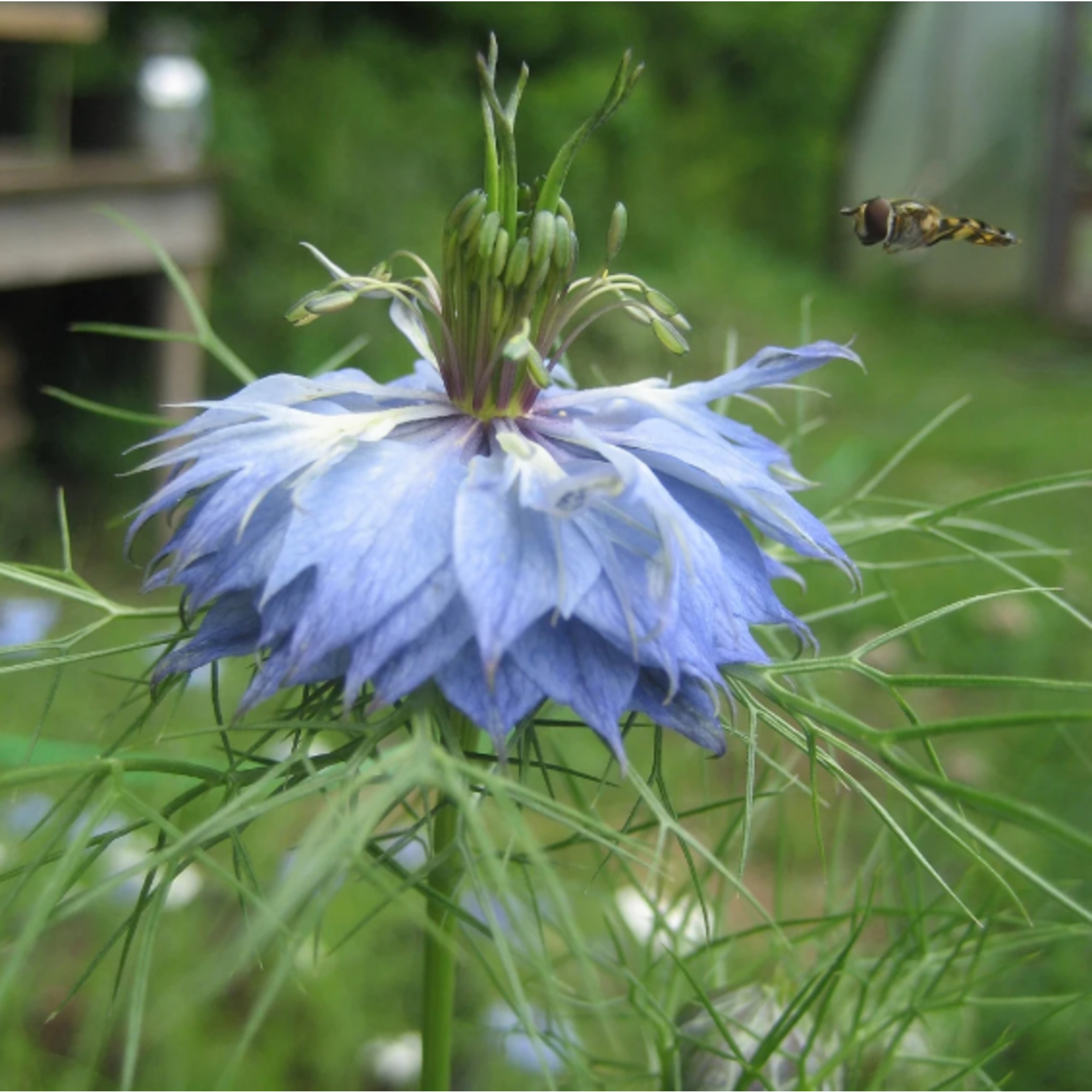 Hudson Valley Seeds Love in a Mist Seeds