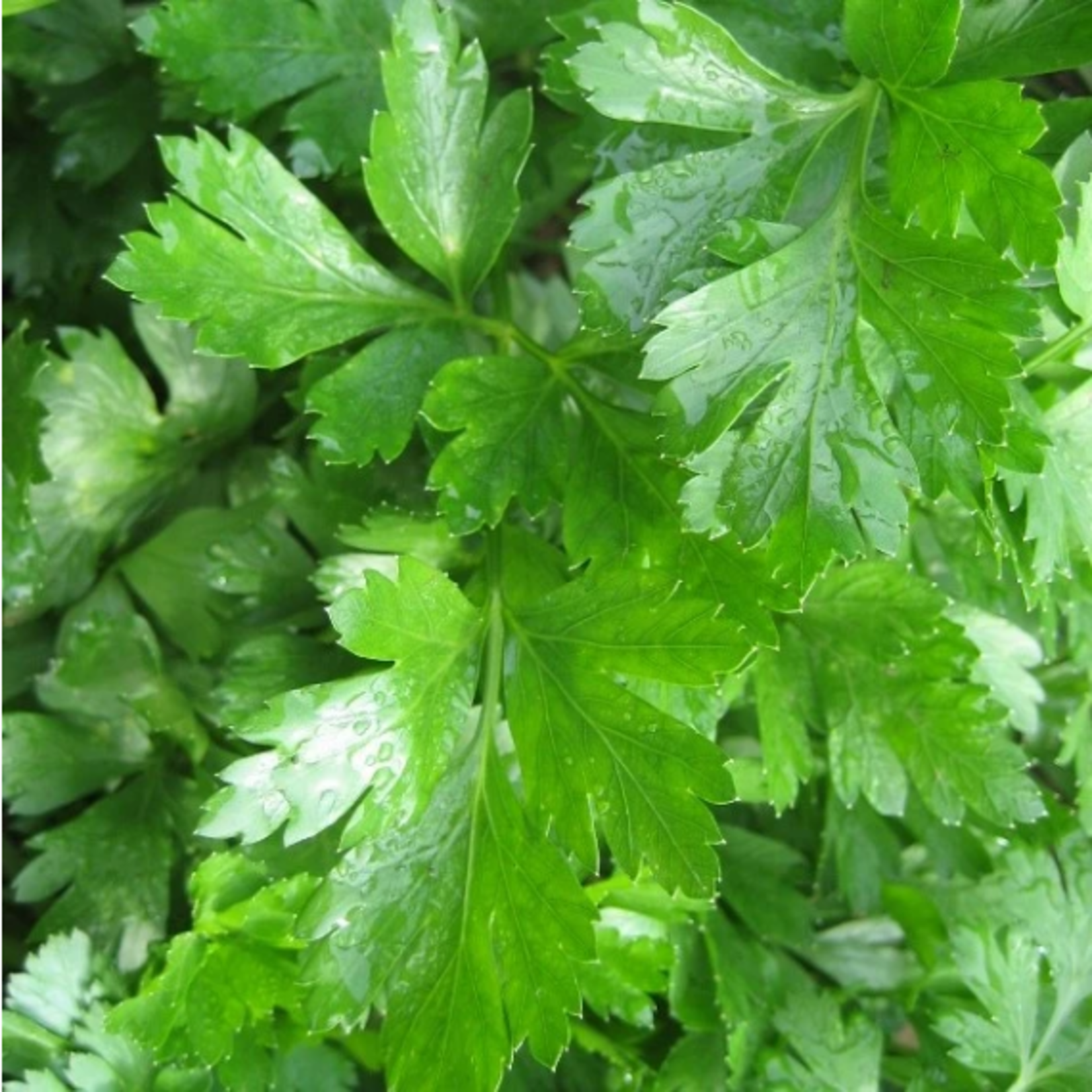 Hudson Valley Seeds Gigante d'Italia Parsley Seeds