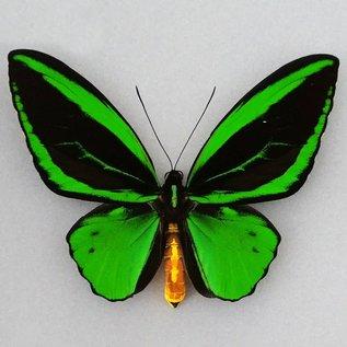 Ornithoptera and Trogonoptera Ornithoptera priamus poseidon M A1 Indonesia