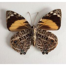Nymphalidae Smyrna blomfildia M A1 Bolivia