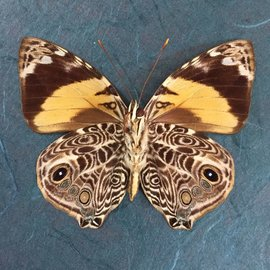 Nymphalidae Smyrna blomfeldia F A1 Bolivia