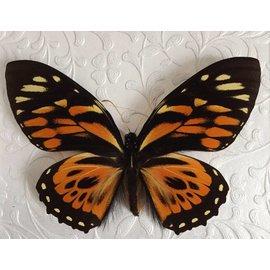 Papilionidae Papilio zagreus = chrisoxanthus  Peru