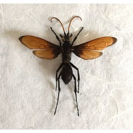 Hymenoptera Pepsis mexicana A1 Mexico - 4.9 cm or less