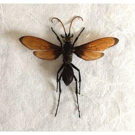 Hymenoptera Pepsis mexicana A1 Mexico - 6.5-6.9 cm