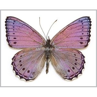 Nymphalidae Sallya pechueli M A1/A1- RCA