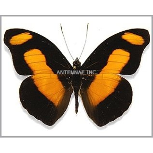 Nymphalidae Catonephele selambria M A1/A1- Bolivia