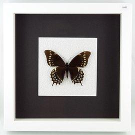 Papilio warscewiczii, Peru