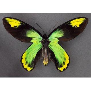 Queen Victoria Birdwing recto/verso, PNG