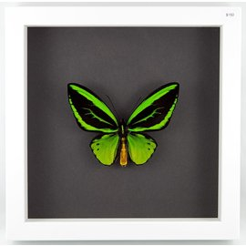 Green Birdwing, Indonesia