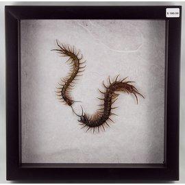 Centipedes, Plilippines