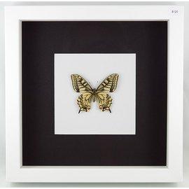 Papilio machaon (verso), China