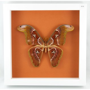 Atlas Moth, Philippines