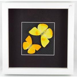 Apricot Sulphur and Orange-Barred Sulphur, Peru