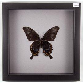 Papilio askalaphus (verso), Indonesia