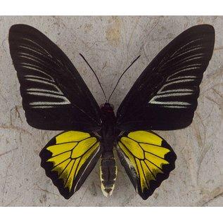 Golden Birdwing, Philippines