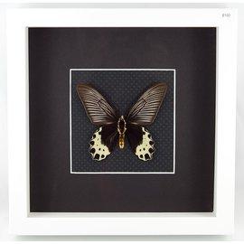 Priapus Batwing, Indonesia